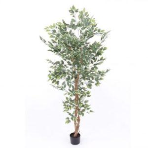 Ficus træ