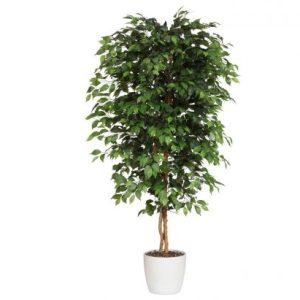 Ficus Benjamini 240 cm