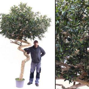Oliventræ stort