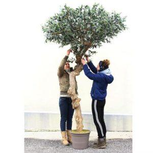 Oliventræ 275 cm med tyk stamme (9.600 blade)