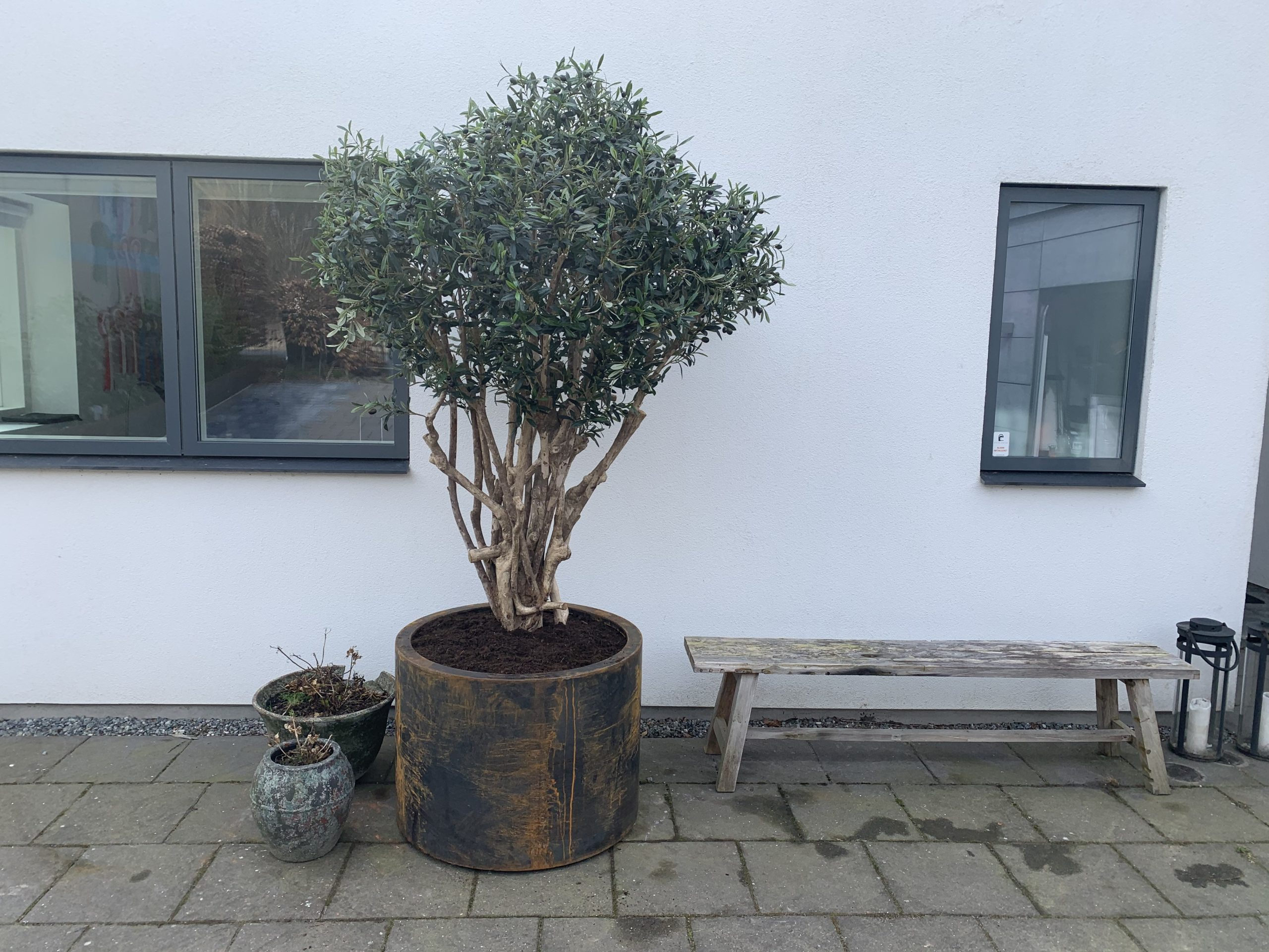 Oliventræ 200 cm